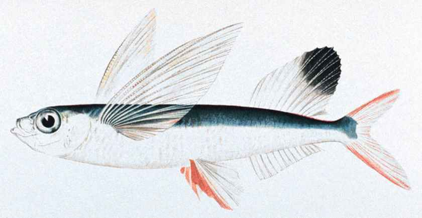 flying fish,gliding fish,Exocoetidue