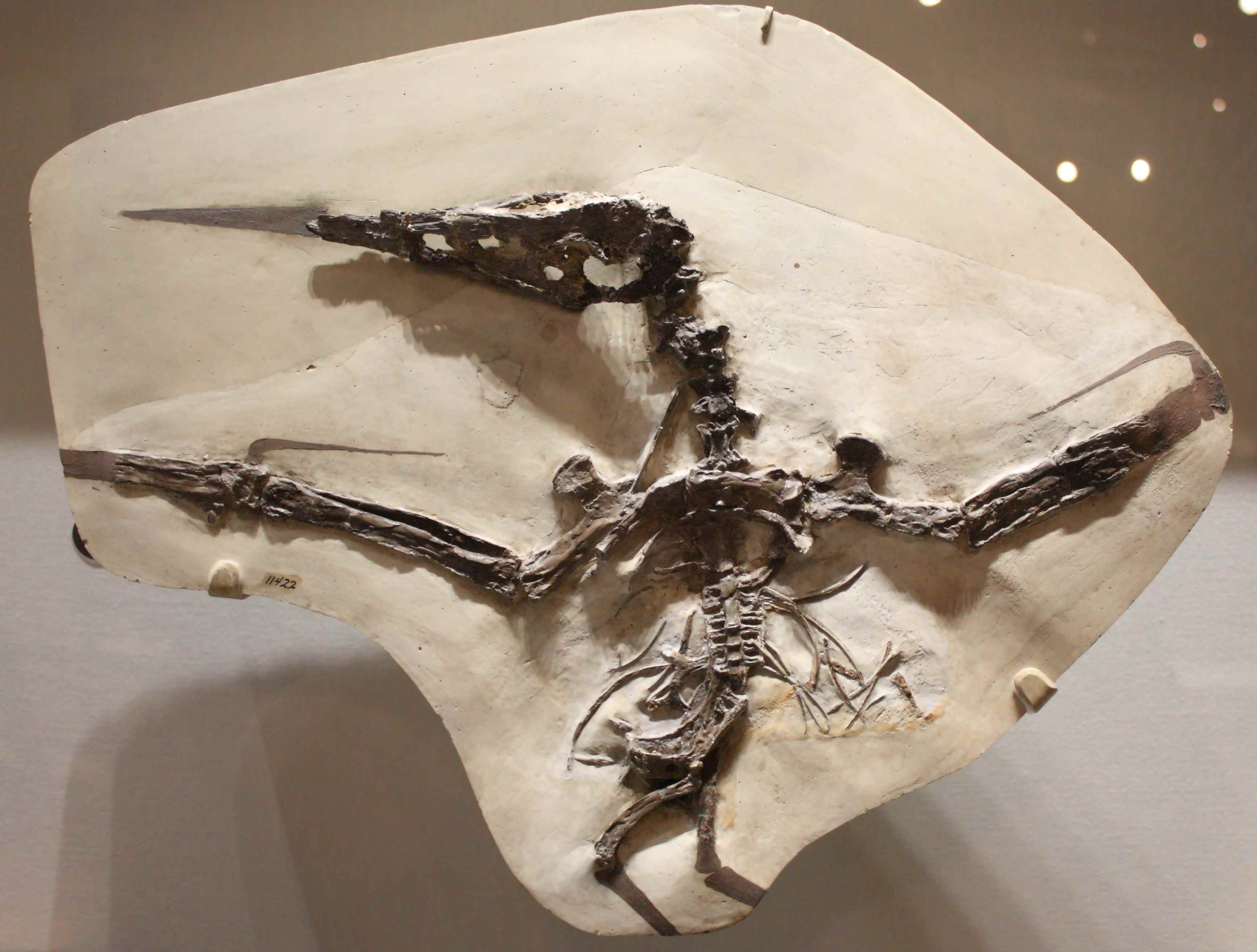 Pterosaurs,flying dinosaurs,bird from Triassic,Pterosaur fossils